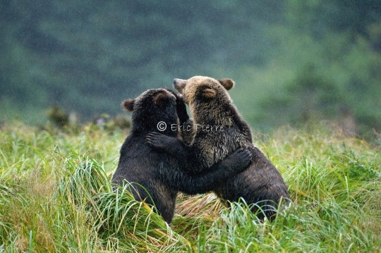 Playing grizzly cubs
