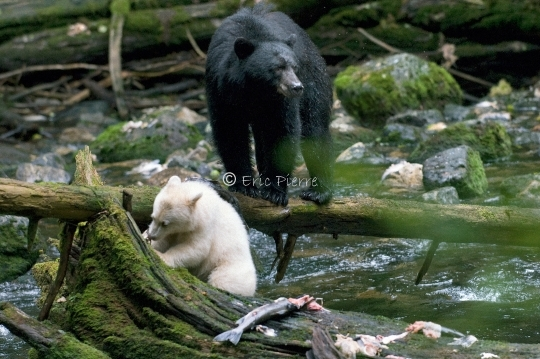 Kermode bear and mother