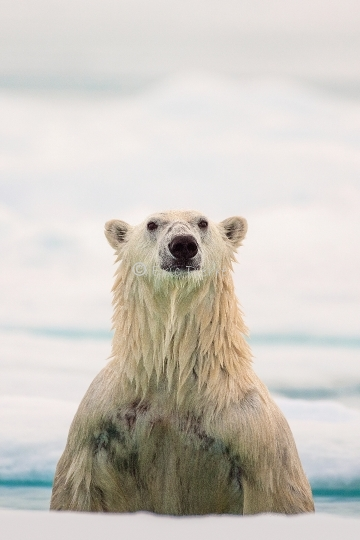 Polar Bear standing up